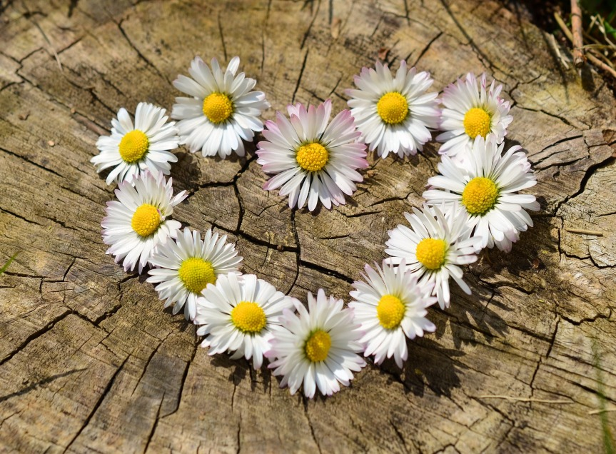 A heart made of daisy flowers on a piece of aged wood.
