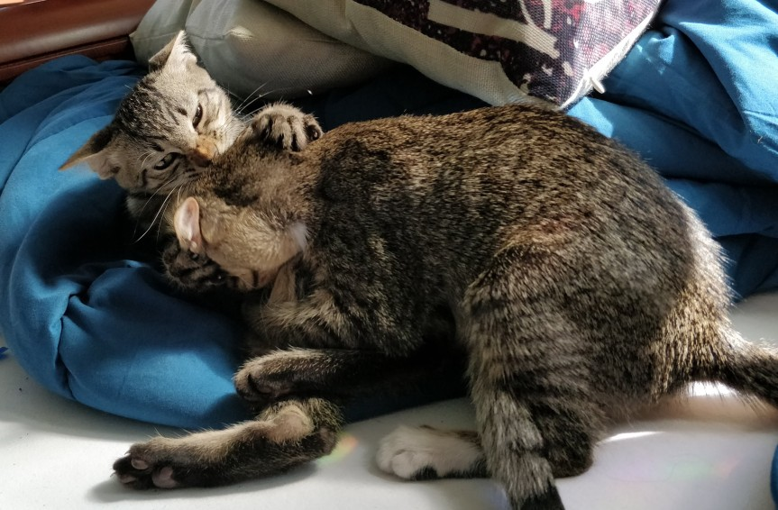 Two tabby kittens play fighting.